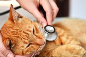 vet holding stethescope to cat