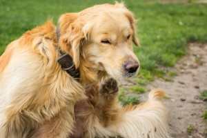 gold retriever scratching