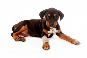 Pet Laser Treatment in Toronto