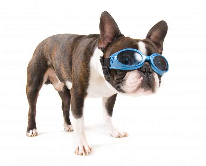 dog wearing protective goggles