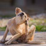 A brown dog scratching itself