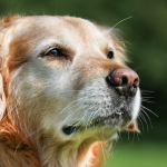 Older dog sitting on a lawn- The Best Exercises for Your Senior Dog or Cat