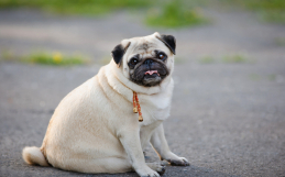 How To Help An Overweight Pet Lose Weight